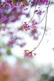 Pink Sakura Royalty Free Stock Images