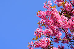 Pink Sakura Royalty Free Stock Photo