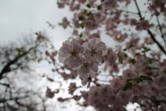 Pink Sakura against the sky royalty free stock image