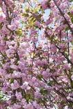 Pink sakura background Stock Images