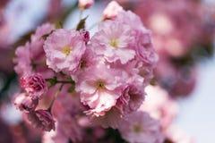Pink sakura. Beautiful cherry close-up photo Royalty Free Stock Image