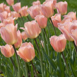Pink tulip on the flowerbed stock images