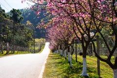 Pink sakura with beautiful road Doi Ang Khang, Chiang Mai , Thai Royalty Free Stock Photography