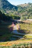 Pink sakura with beautiful road Doi Ang Khang, Chiang Mai , Thai Royalty Free Stock Images