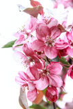 Pink sakura. Bloom of a pink sakura on a white background Stock Photography