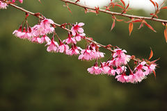 Pink Sakura Blossom Royalty Free Stock Photo