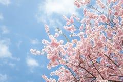 Pink sakura blossom against blue sky royalty free stock photo
