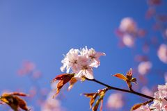 Pink Sakura blossom branch under Sakura tree shade behind sunlight ray and blue sky in background.magnificent cherry royalty free stock images