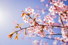Pink Sakura blossom branch under Sakura tree shade behind sunlight ray and blue sky in background.magnificent cherry stock photos