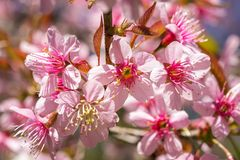 Pink sakura blossom flowers Royalty Free Stock Images
