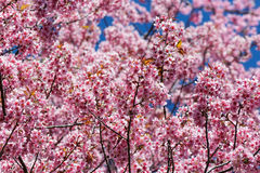 Pink sakura blossom flowers Royalty Free Stock Photography