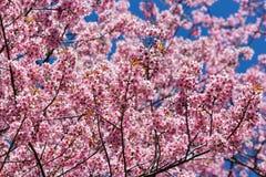 Pink sakura blossom flowers Stock Photos