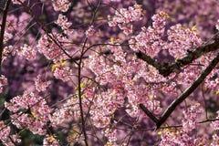 Pink sakura blossom flowers Royalty Free Stock Images