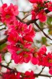 Pink sakura blossom Royalty Free Stock Photo