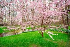 Pink Sakura Blossom in Keukenhof. Pink blooming sakura on the green grass during spring time in famous Holland Flower park - Keukenhof. Toned photo Stock Photos