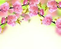Pink sakura blossom, spring Stock Photography