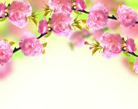 Pink sakura blossom, spring Royalty Free Stock Photos