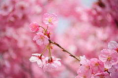 Pink sakura #4 Stock Images