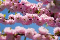 Pink sakura. Blossom  pink sakura in sunny spring day Stock Image