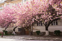 Pink sakura blossom in town Stock Images