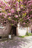 Pink sakura blossom in town Royalty Free Stock Photo