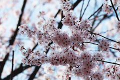Pink sakura blossom on tree in kawagujiko. Stock Photo