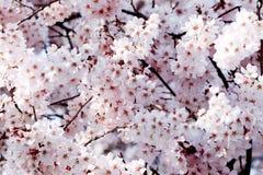 Pink sakura blossom on tree in kawagujiko. Stock Photography