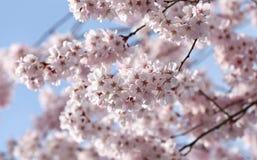 Pink sakura blossom on tree in kawagujiko. Stock Photos