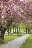 Pink sakura blossom in Uzhgorod, Ukraine Royalty Free Stock Photo