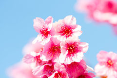 Pink sakura blossoms Background sky Royalty Free Stock Photography