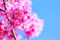Pink sakura blossoms Background sky Royalty Free Stock Images