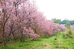 Pink sakura blossoms on dirt road in thailand Royalty Free Stock Photo