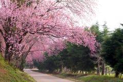 Pink sakura blossoms on dirt road in thailand Stock Photos
