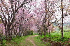 Pink sakura blossoms on dirt road in thailand Stock Photos