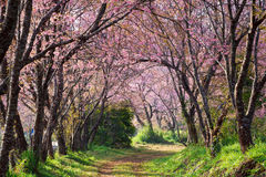 Pink sakura blossoms on dirt road in thailand Royalty Free Stock Photos