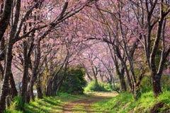 Pink sakura blossoms on dirt road in thailand Royalty Free Stock Photos
