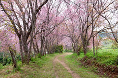 Pink sakura blossoms on dirt road in thailand Stock Images