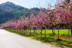 Pink sakura blossoms Royalty Free Stock Images