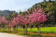 Pink sakura blossoms Royalty Free Stock Photography