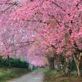 Pink sakura blossoms on road in thailand Stock Image