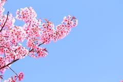 Pink sakura blossoms in Thailand Royalty Free Stock Photography
