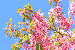 Pink sakura blossoms in Thailand Royalty Free Stock Images