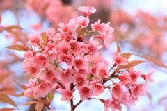 Pink sakura blossoms in Thailand Royalty Free Stock Photo