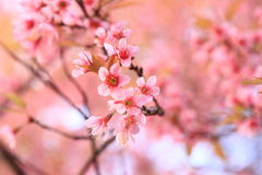 Pink sakura blossoms in Thailand Royalty Free Stock Image