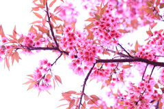 Pink sakura blossoms in Thailand Stock Photography