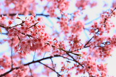 Pink sakura blossoms in Thailand Stock Images