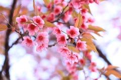 Pink sakura blossoms in Thailand Royalty Free Stock Photos