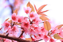 Pink sakura blossoms in Thailand Stock Image