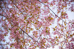 Pink Sakura. And Blue Sky is Background at Nagaland India Royalty Free Stock Images