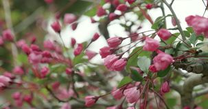 Pink Sakura budding during cherry blossom season in Japan. Camera pans around the flowers in close-up stock video footage